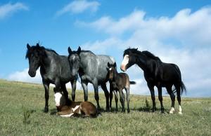 Paarden - foto Seth Zeigler / Wikipedia