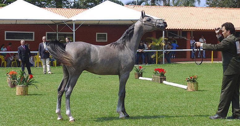 Arabische paarden